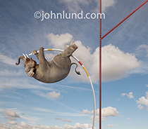 Funny picture of an elephant pole vaulting in front of a large enthusiastic crowd. The elephant is high in the air hanging tightly onto a bending pole as he is about to launch himself over the bar.