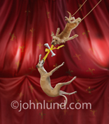 Picture of a circus act featuring flying trapeze dogs, a Whippet and a Mutt, attached bone wrapped with a ribbon they are holding in their teeth.