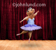 Funny photo of a Hamster, wearing a purple Tutu as she ballet dances on stage created for advertising, greeting card and editorial use.
