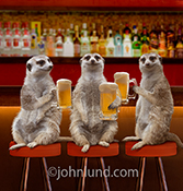 Three Meerkats sit in a bar with frothy mugs of beer in a funny anthropomorphic animal photo for greeting card and stock photo uses.