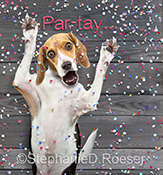 A funny Beagle raises his arms exhorting us to party in this stock and greeting card image.