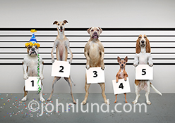 A funny police line up of dogs photo features a bulldog wearing a party hat in a greeting card image created for Leanin Tree.