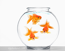 Three funny goldfish in a goldfish bowl wear shocked expressions in this stock photo about surprise, wonder and the unexpected.