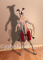 A Whippet stands in a room wearing a pair of fire extinguishers in a funny dog picture created for a Greeting Card.