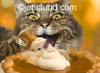 Funny picture of a cat eating pumpkin pie and using a fork in a thanksgiving holiday pic. Humorous cat pictures.
