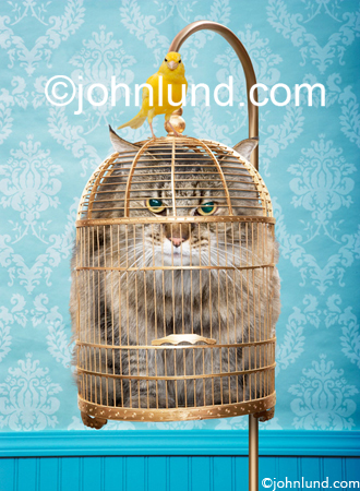 A cat stuck in a bird cage with a yellow canary sitting on top...one pissed off cat! An animal antics stock photo - A funny cat picture.