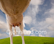 Low angle view of a milk cow's under from underneath with a lightly clouded sky and a green grass-covered hill in the background.