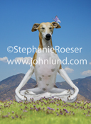 A Whippet sits in lotus position and meditates serenely with his eyes closed as a butterfly lands on his ear as he seeks peace and harmony.