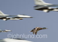 A lone duck struggles to keep up in the middle of a formation of jet fighter aircraft in an image about challenge and perseverance.