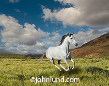 A white horse gallops across a grassy plain before distant mountains and under a summer sky studded with white fluffy clouds in an image about vitality, freedom, speed and motion.