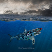 A shark filled with garbage patrols the waters below the ocean's surface in this fine art photo and stock image created to help bring attention to the problem of plastic in our oceans.