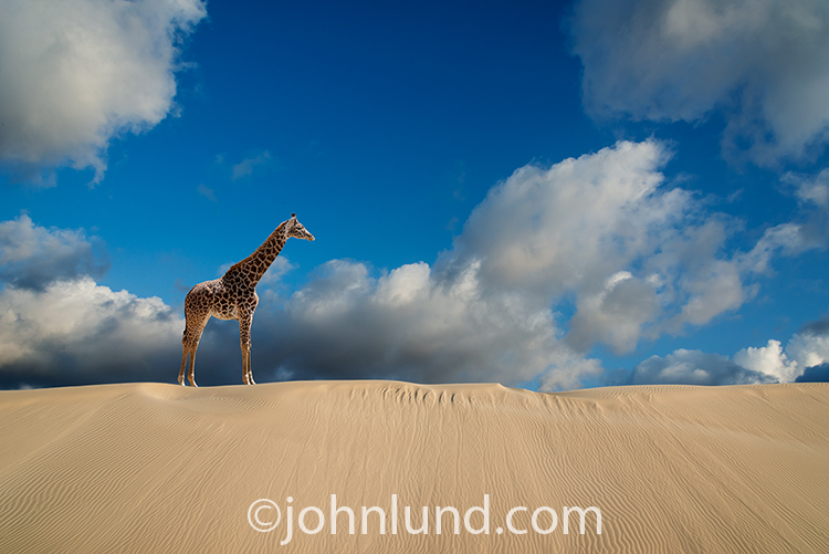 A solitary Giraffe stands on a sand dune against a backdrop of cloud filled skies in an image about solitude, vision, and challenge.