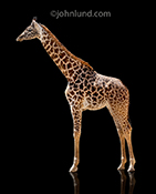 A giraffe stands tall on a black background in a simple but striking stock photo.
