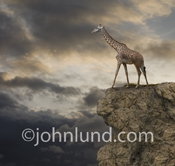 Photo of a Giraffe standing on top of a cliff with storm clouds in the background as the sun begins to set.