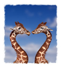 picture of two giraffes