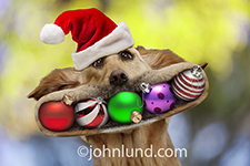 A Golden Retriever wears a Santa hat and has his mouth full of Christmas Ornaments in this funny dog xmas photo.