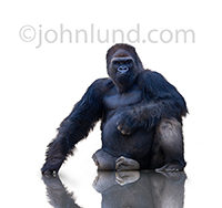A gorilla sits on a white background and stares at the viewer in a gorilla stock photo that captures the power and intensity of the big primate.