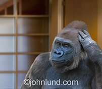 This funny gorilla stock photo shows a great ape scratching his head in confusion against a high-end office setting.