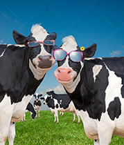 Two silly and happy Holstein cows pose together in sunglasses in this funny cow stock photo.