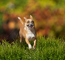 A happy dog runs through tall grass against a background of fall foliage in a stock photo about pets, joy and exuberance.
