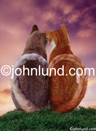 Funny animal picture and stock photo of two cats sitting together watching a sunset while their tails join to form a heart shape.