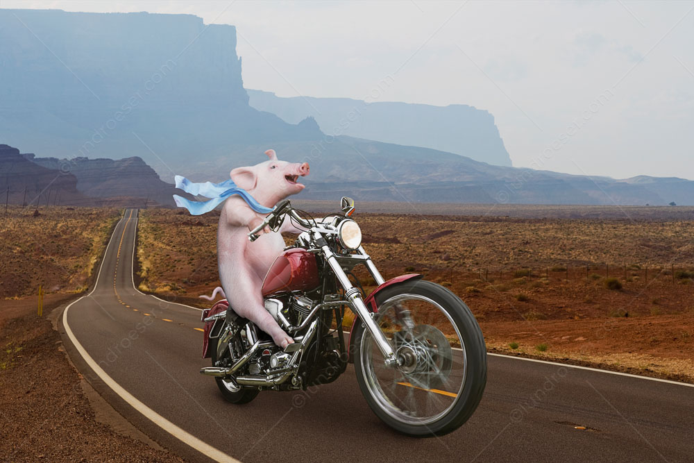 A pig rides happily on a motorcycle down a long country highway with his scarf flowing in the wind in a funny hog on a hog photo and greeting card image.