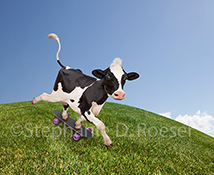 In this whimsical stock photo a funny Holstein cow skateboards down a grassy pasture slope on a perfect Summer day.