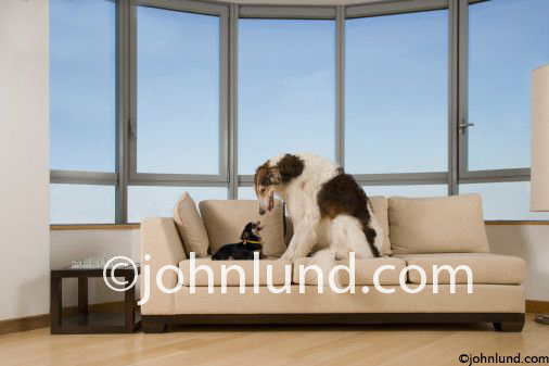 Stock photo of a huge hound dog and a tiny Chihuahua dog eye to eye on a couch in an upscale living room in a size mismatch.