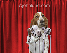 A soulful Basset hound stands behind the podium and several microphones in a canine press conference in ths funny animal stock photo.