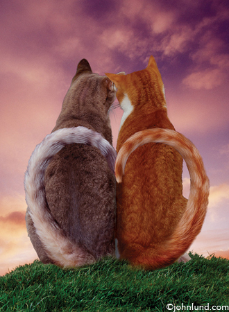 Heart Tails - picture of two cats in love