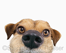 A Jack Russell's peeking face, up close and persona...and cute as hell...in this humorous greeting card image and stock photo of cuteness overload!