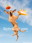 Bloodhound with a birthday cake jumping for joy. The bloodhound has a party hat on and a birthday cake in is paw as he jumps high into the air with joy.