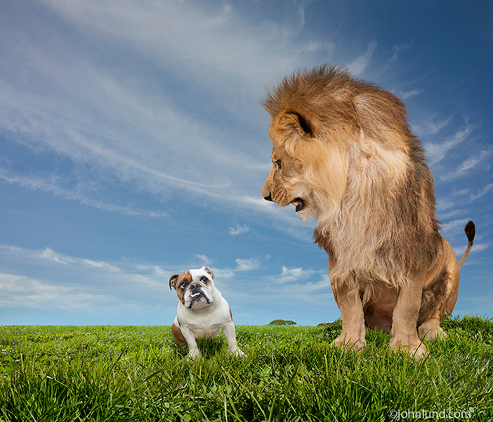 Angry Lion and a Cowering English Bulldog