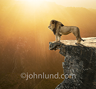 A majestic lion stands on the edge of a cliff looking over his domain against a golden sunset in a beautiful stock photo about dominance, power, strength, and leadership.