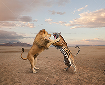 A lion and tiger fight each other in a stock photo about aggression, conflict, competition and dominance.