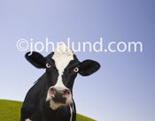 A mad cow, with eyes bulging, stares angrily into the camera in this funny Holstein milk cow photo. The cow is looking directly at the camera. You can almost see the smoke coming from its ears.