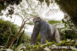 A gorilla pauses in his jungle environment and glares at the viewer with a menacing look in an image about environmental issues, power and strength, and danger and risk.