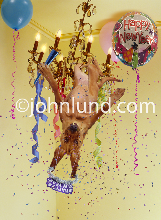 A Bloodhound swings upside down from a chandelier amid confetti and balloons as this party dog celebrates the New Year!
