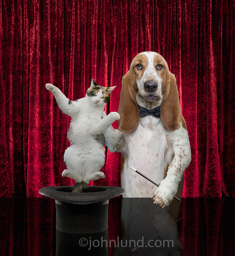You can teach an old dog new tricks as seen in this image of a funny Basett Hound pulling a cat out of a magician�s hat, an image created with humorous greeting and birthday cards in mind.