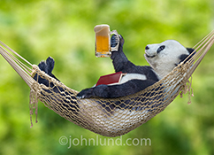 A Panda bear relaxes in a hammock with a beer and a good book in a funny anthropomorphic picture about relaxation, getting away from it all and retirement.