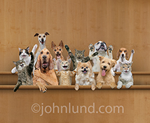 In the jury box an excited group of cats and dogs perform their jury duty enthusiastically and are apparently very happy with their verdict in this funny pet stock photo.