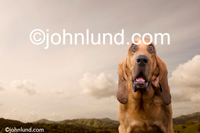 Funny animal stock photo of a Bloodhound dog with an expression of amazement and wonder in a funny dog pic. Picture of a bloodhound.