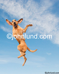 Funny Picture of a jumping Bloodhound high in the sky, ears flying with a humorous expression. Picture of a bloodhound.
