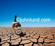 Low angle stock photo of a goose in a twist on the saying Duck out of water and representing ecological problems and global warming. Pictures of dry cracked land.