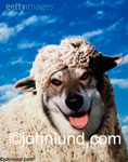 Wolf in sheeps clothing.  This classic stock photo of a wolf in sheep's clothing is great for all kinds of ads and editorial uses.  Blue sky in background.