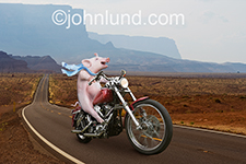 A pig (hog) rides happily on a motorcycle down a long country highway with his scarf flowing in the wind in a funny hog on a hog photo and greeting card image.