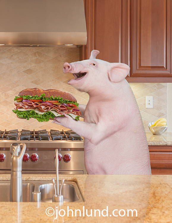 A pig stands in a kitchen holding a huge sandwich in a funny photo about abundance, excess and food issues.