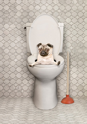 In this Pug photo the poor little guy is poking his head up out of a toilet...a
