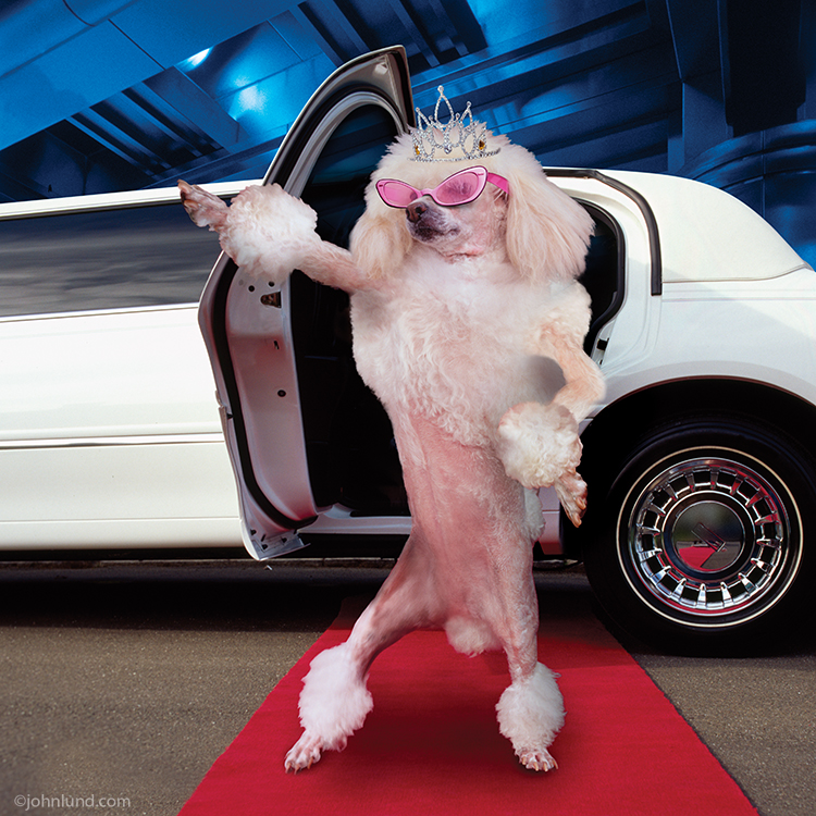 funny pet picture of a poodle stepping onto a red carpet