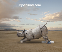 A rhinoceros stands in starting blocks in a funny rhino picture and concept stock photo metaphor for improbable skill, agility and speed in a large, powerful and rugged entity.